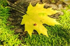 Ladybird sulla foglia Immagini Stock