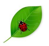 Ladybird sulla foglia Fotografia Stock