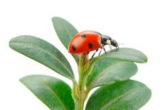 Ladybird sulla foglia verde su un fondo bianco Immagine Stock Libera da Diritti