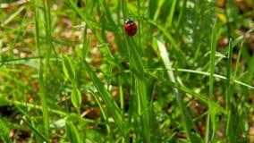 Ladybird sulla lama di erba video d archivio
