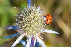 Ladybird, the sun eats pollen on a flower. royalty free stock image