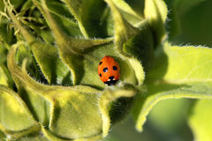 Ladybird on sun flower Royalty Free Stock Photo