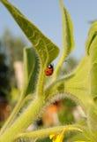 Ladybird on sunflower Royalty Free Stock Photography
