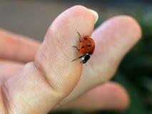 Ladybird sur l'astuce de doigt photos libres de droits