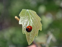 Ladybird sur la feuille Photo stock