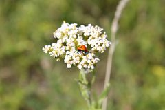 Ladybird sur la millefeuille Photos stock