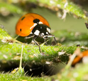 Ladybird sur la nature fin Photos libres de droits