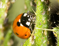 Ladybird sur la nature fin Photos stock