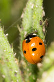 Ladybird sur la nature fin Photo libre de droits