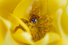 Ladybird sur la rose de jaune Photographie stock libre de droits