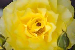 Ladybird sur la rose de jaune Photo libre de droits