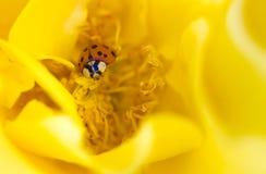Ladybird sur la rose de jaune Image libre de droits