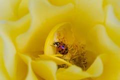 Ladybird sur la rose de jaune Photo stock