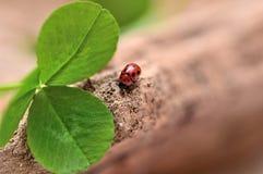 Ladybird sur un arbre avec deux feuilles Image stock