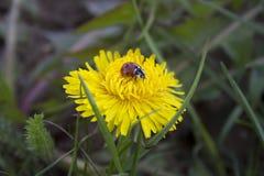 Ladybird sur un pissenlit Photo stock