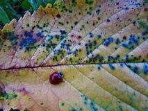 Ladybird sur une feuille Images stock