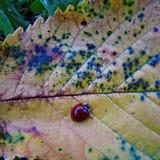 Ladybird sur une feuille Image stock