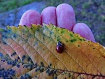 Ladybird sur une feuille Photos libres de droits