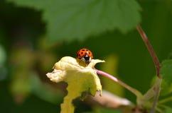 Ladybird sur une feuille images libres de droits