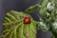 Ladybird sur une feuille Image libre de droits