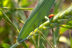 Ladybird sur une Grain-oreille Photos stock