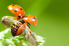 Ladybird takeoff. Red little ladybird flying away from fresh green grass Royalty Free Stock Photography