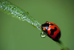 The Ladybird Taking a Bath. Ladybird start routine in the early morning with dew bath Stock Image
