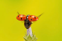 Ladybird taking flight Royalty Free Stock Photography