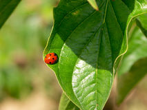 Ladybird taking a sunbath on a leaf. Ladybird taking a sunbath on a green leaf royalty free stock photo