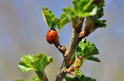 Ladybird at the tree Royalty Free Stock Photography