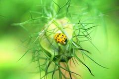Ladybird w kwiatu pączku Obrazy Stock
