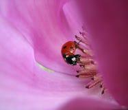 Ladybird w Magnoliowym kwiacie Zdjęcia Stock