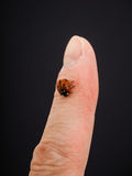 Ladybird walking downwards on a finger. Isolated towards black background Royalty Free Stock Photography