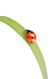 Ladybird walking on a leaf Royalty Free Stock Photos