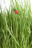 Ladybird walking on a leaf Stock Photography