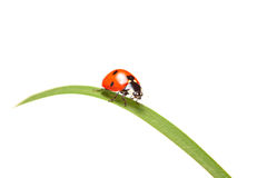 Ladybird walking on a leaf Royalty Free Stock Photo