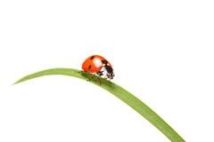 Ladybird walking on a leaf Royalty Free Stock Photo
