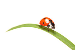 Ladybird walking on a leaf Stock Photo