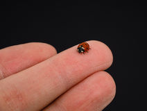 Ladybird walking on middle finger Stock Photos