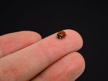 Ladybird walking on middle finger Stock Photos