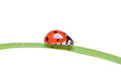 Free Ladybird Walking On A Leaf Royalty Free Stock Photo - 10003955