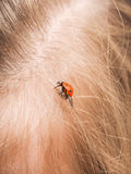 Ladybird walking in a persons hair Stock Images
