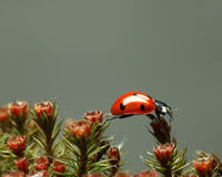 Ladybird walking on red blossom moss top Stock Photo