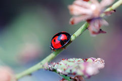 Ladybird walking on stem of compositae plant Royalty Free Stock Photography