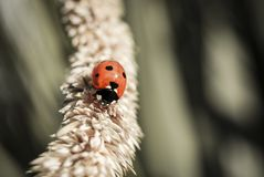 A ladybird walking royalty free stock photos