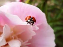 Ladybird wants to fly stock image