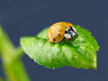 Ladybird on wet green leaf. Stock Photos