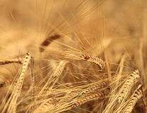 Ladybird in wheat field (Scotland, UK) Royalty Free Stock Photo