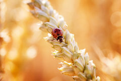 Ladybird on Wheat Spike Royalty Free Stock Images