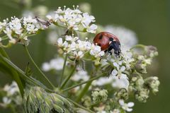 Ladybird on white flower royalty free stock photography